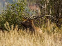Bull Elk in the Tall Grass stock image