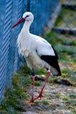 Captured bird - stork royalty free stock image