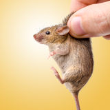 Captured house mouse (Mus musculus) Royalty Free Stock Images