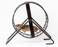 Captured house mouse (Mus musculus) in treadwheel. Captured house mouse (Mus musculus) running in metallic treadwheel Royalty Free Stock Photography