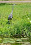 Blue Heron near a pond searching for fish. Captured this huge Blue Heron on the edges of a pond searching for his next meal, a nice tasty fish royalty free stock photography