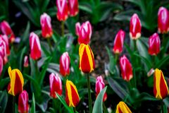 Ballade tulips from Holland Royalty Free Stock Image