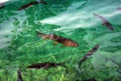 Capturer de poissons de ci-dessus dans l'eau transparente Image stock