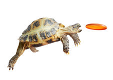 Captures de la tortue le frisbee Photos stock