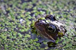 Frog surfacing from garden pond. stock photo
