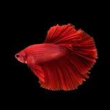 Capturez le moment mobile des poissons de combat d'isolement sur le CCB noir Images libres de droits