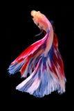 Capturez le moment mobile des poissons de combat d'isolement sur le CCB noir Image stock