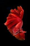 Capturez le moment mobile des poissons de combat d'isolement sur le CCB noir Photo libre de droits