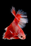 Capturez le moment mobile des poissons de combat d'isolement sur le CCB noir Image libre de droits