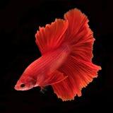 Capturez le moment mobile des poissons de combat d'isolement sur le CCB noir Photographie stock