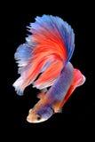 Capturez le moment mobile des poissons de combat d'isolement sur le CCB noir Images stock