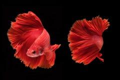 Capturez le moment mobile des poissons de combat d'isolement sur le CCB noir Photos libres de droits