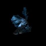Capturez le moment mobile des poissons de combat siamois bleus Image libre de droits