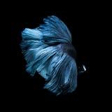 Capturez le moment mobile des poissons de combat siamois bleus Photographie stock libre de droits