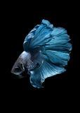 Capturez le moment mobile des poissons de combat siamois bleus Photographie stock