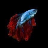 Capturez le moment mobile des poissons de combat siamois rouge-bleus Photo libre de droits