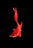 Capturez le moment mobile des poissons de combat siamois rouges d'isolement Photos stock