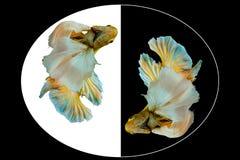 Capturez le moment mobile des poissons jaunes de betta, poissons de combat siamois d'isolement sur le fond noir et blanc Image stock