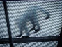 Capuchón hecho frente blanco en las opiniones del tejado alrededor de Costa Rica Imagen de archivo