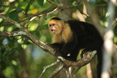 Capuchin άσπρος-προσώπων πίθηκος σε ένα δέντρο Στοκ Φωτογραφία