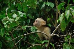 capuchin αντιμετώπισε το λευκό στοκ φωτογραφίες με δικαίωμα ελεύθερης χρήσης