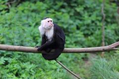 capuchin διεύθυνε το λευκό Στοκ Εικόνα