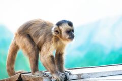 Capuchin ο πίθηκος εξετάζει την απόσταση Στοκ φωτογραφία με δικαίωμα ελεύθερης χρήσης