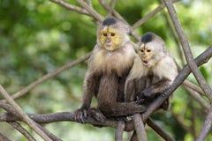 Capuchin πίθηκοι Στοκ Φωτογραφία
