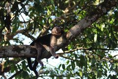 Capuchin πίθηκος Κόστα Ρίκα Στοκ φωτογραφία με δικαίωμα ελεύθερης χρήσης