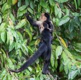 Capuchin πίθηκος με έναν νέο Στοκ Εικόνες