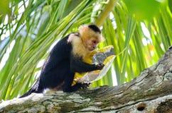 Capuchin πίθηκος με την τσάντα των τσιπ πατατών Στοκ εικόνες με δικαίωμα ελεύθερης χρήσης