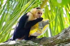 Capuchin πίθηκος με την τσάντα των τσιπ πατατών Στοκ Εικόνα