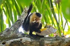 Capuchin πίθηκος με την τσάντα των τσιπ πατατών Στοκ φωτογραφία με δικαίωμα ελεύθερης χρήσης