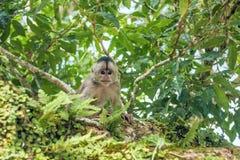 Capuchin πίθηκος σε Misahualli, Ισημερινός στοκ εικόνες