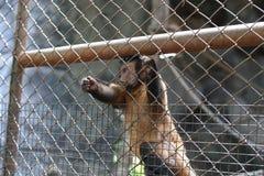 Capuchin πίθηκος στο κλουβί Στοκ φωτογραφίες με δικαίωμα ελεύθερης χρήσης