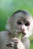 Capuchin πίθηκος Στοκ Εικόνα
