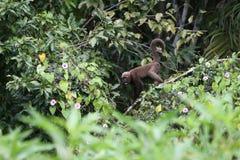 Capuchin πίθηκος Στοκ φωτογραφία με δικαίωμα ελεύθερης χρήσης