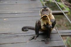 Capuchin πίθηκος στοκ φωτογραφίες με δικαίωμα ελεύθερης χρήσης