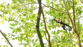 Capuchin πίθηκος 3 απόθεμα βίντεο