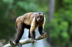 Capuchin πίθηκος Στοκ Φωτογραφίες