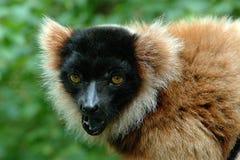 Capuchin πίθηκος Στοκ εικόνες με δικαίωμα ελεύθερης χρήσης