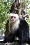capuchin πίθηκος VI Στοκ Φωτογραφία