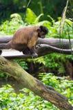 Capuchin Брайна имея корму Стоковое фото RF