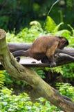 Capuchin Брайна имея корму Стоковое Изображение
