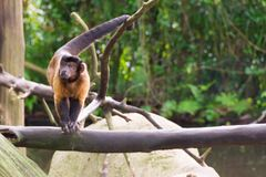 Capuchin Брайна пока ищущ еда Стоковая Фотография RF