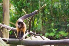 Capuchin Брайна пока ищущ еда Стоковое Изображение RF