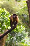 Capuchin Брайна пока ищущ еда Стоковое Фото