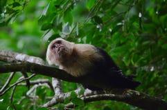 capuchin возглавил белизну стоковые изображения