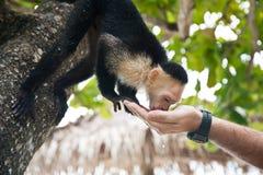 capuchin испытывающий жажду Стоковое Фото
