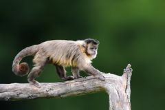 Capuchin, обезьяна сидя на ветви дерева в темном тропике f Стоковое Фото